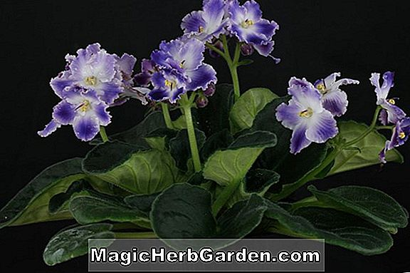 Saintpaulia ionantha (Fluted Coral African Violet)