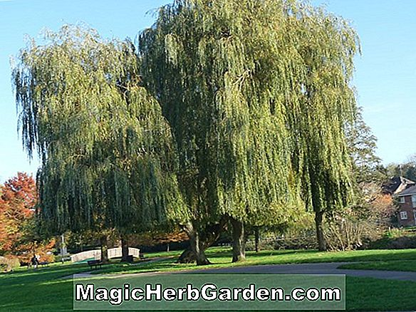 Planter: Salix (Prairie Cascade Willow)