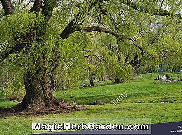 Salix (Wisconsin Weeping Willow)