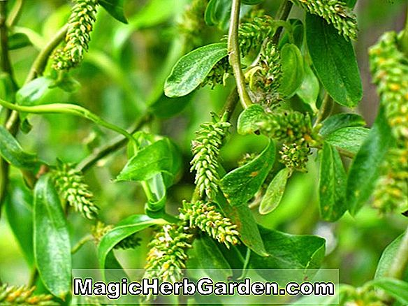 Salix Babylonica (Weeping Willow)