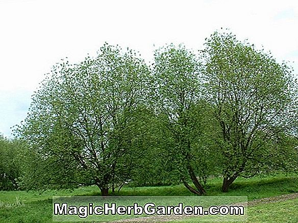 Planter: Salix caprea (Kilmarnock Willow)