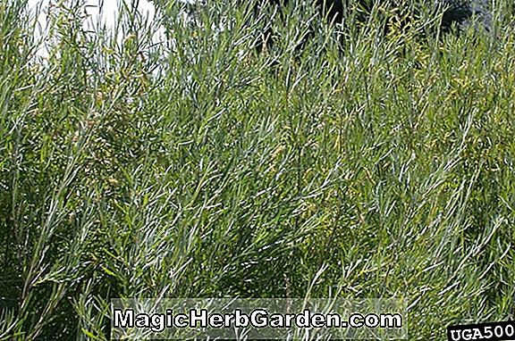 Salix exigua (Coyote Willow)