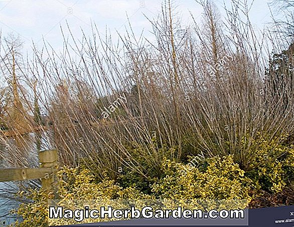 Salix irrorata (Irrorate Willow)