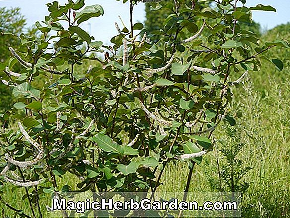 Salix magnifica (Magnificent Willow)