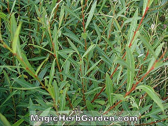 Planter: Salix purpurea (Gracilis Purple Osier Willow)