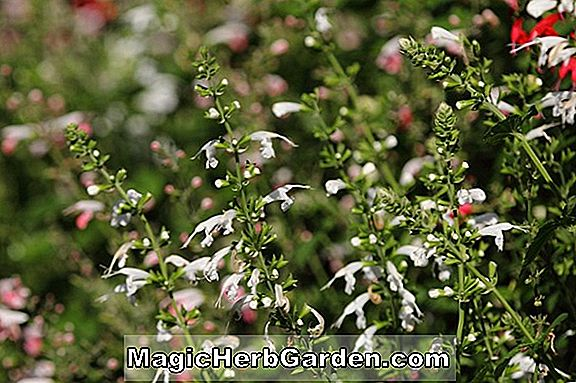 Planter: Salvia coccinea (Snow Nymph Texas Sage)