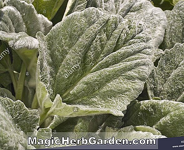 Salvia farinacea (Silver White Mealycup Sage)