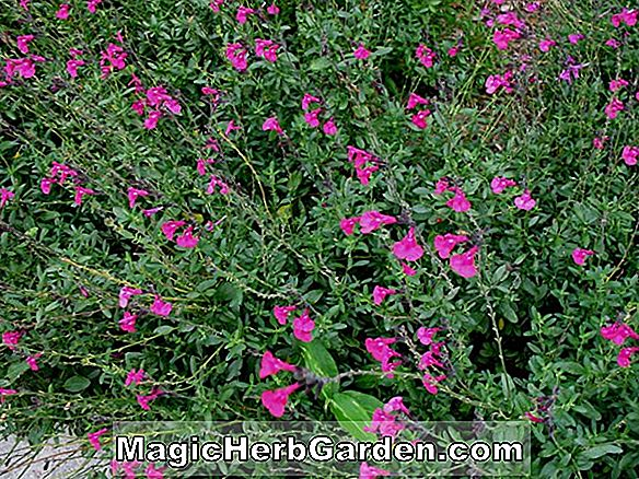 Salvia Greggii (Raspberry Royal Autumn Sage)