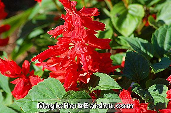 Salvia Splendens (Scarlet Queen Sage)