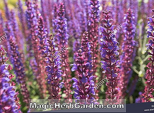 Salvia sylvestris (Rose Queen Sage)