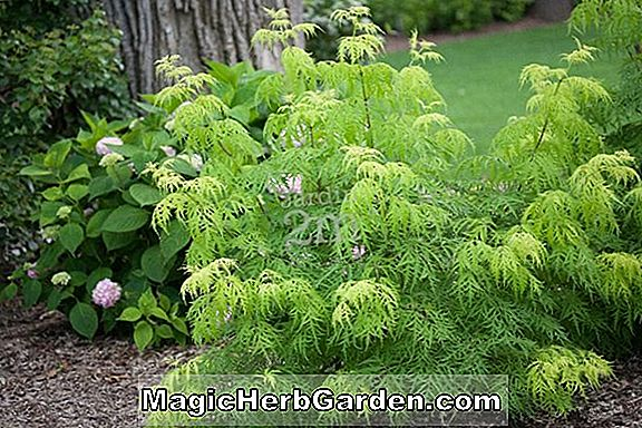 Planter: Sambucus racemosa (Redman European Red Elder)