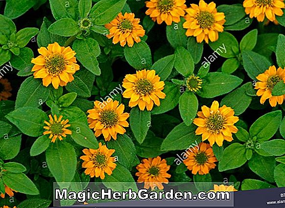 Sanvitalia procumbens (Creeping Zinnia Mandarin Orange)