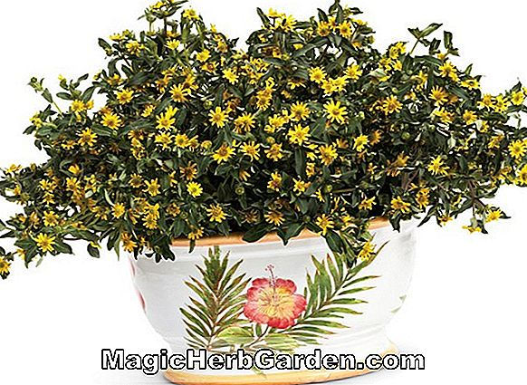 Sanvitalia procumbens (Creeping Zinnia Golden Carpet)