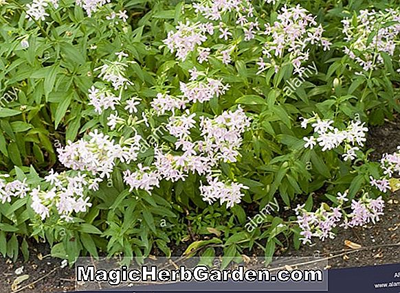 Saponaria officinialis (White Soapwort)