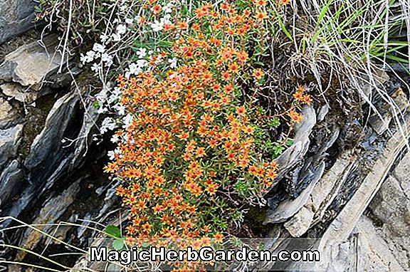 Planter: Saxifraga aizoides (Yellow mountain saxifrage)