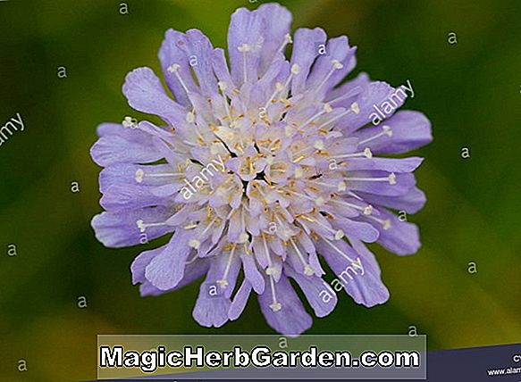 Scabiosa columbaria (Butterfly Blue Small Scabious)
