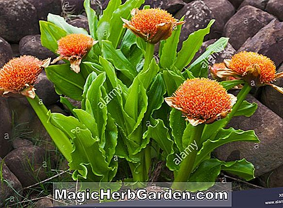 Scadoxus puniceus (Blood Lily)