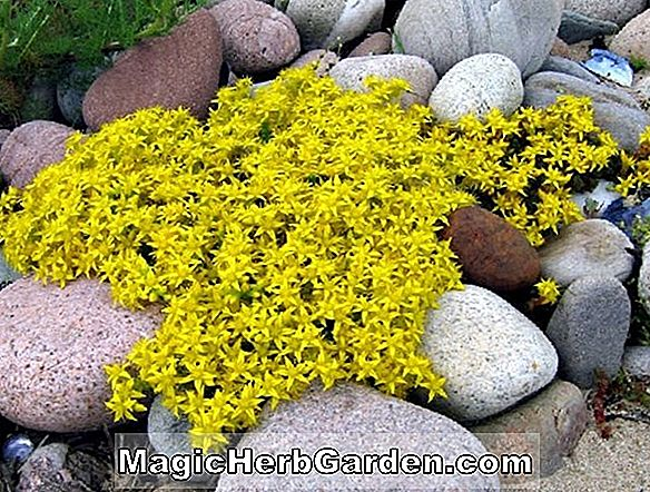 Planter: Sedum acre (Golden Moss)