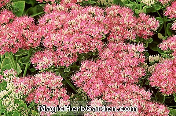 Planter: Sedum spektabile (Showy Stonecrop)