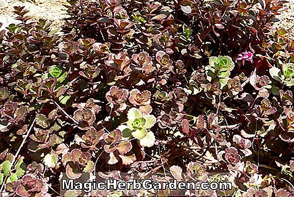 Sedum spurium (Purple Carpet Two-row Stonecrop)