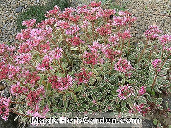 Planter: Sedum spurium (to-rad stonecrop)
