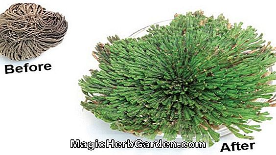 Selaginella lepidophylla (Rose Of Jericho)
