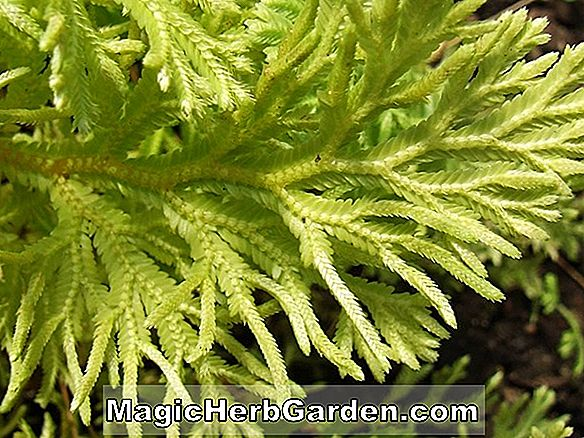 Planter: Selaginella martensii (Variegated Spikemoss)