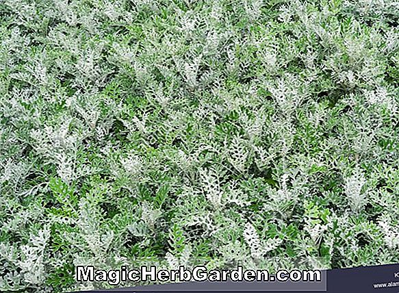 Senecio cineraria (White Diamond Dusty Miller)