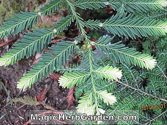 Sequoia sempervirens (Prostrata Redwood)