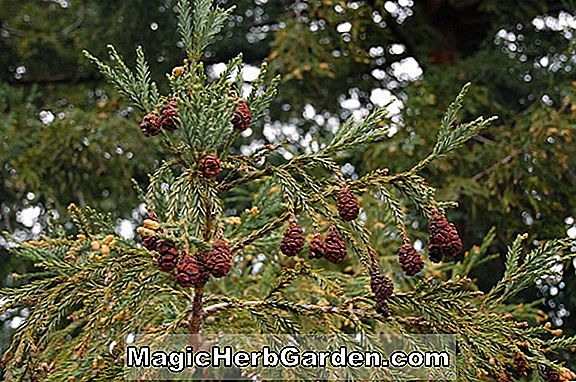 Sequoia sempervirens (Adpressa Redwood)
