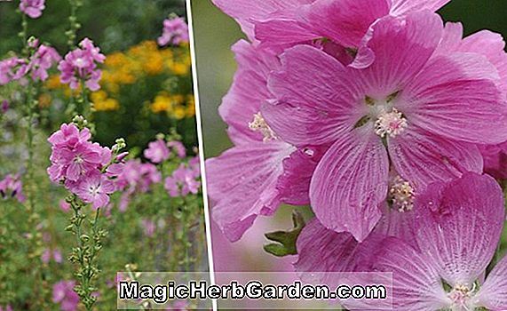 Sidalcea (Party Girl False Mallow)