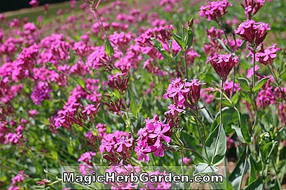 Planter: Silene California (Californien Indian Pink)