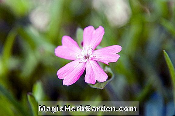 Silene caroliniana (Carolina Campion)