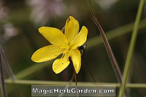 Sisyrinchium californicum (Golden Eyed Grass)