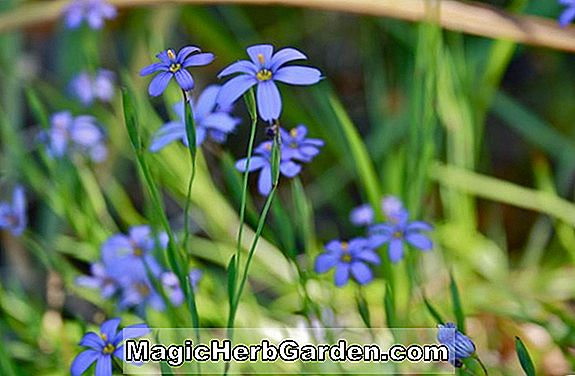Sisyrinchium graminoides (Blue Eyed Grass)