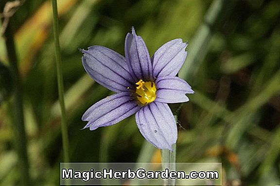 Sisyrinchium idahoense (Album California Blue Eyed Grass)
