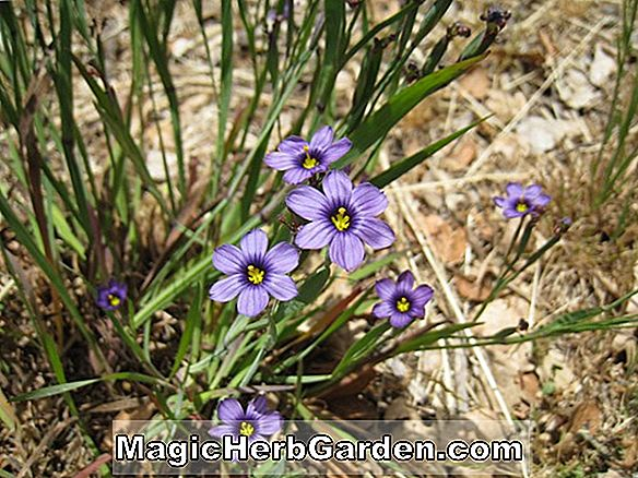Sisyrinchium macounii (California Blue Eyed Grass)