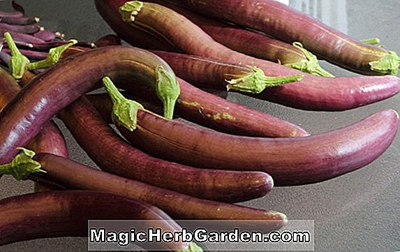 Planter: Solanum melongena (Early Long Purple Aubergine)