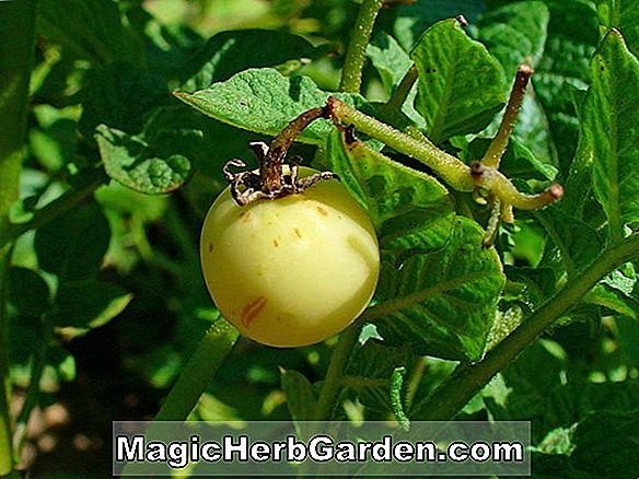 Solanum tuberosum (Bliss's Triumph Potato)