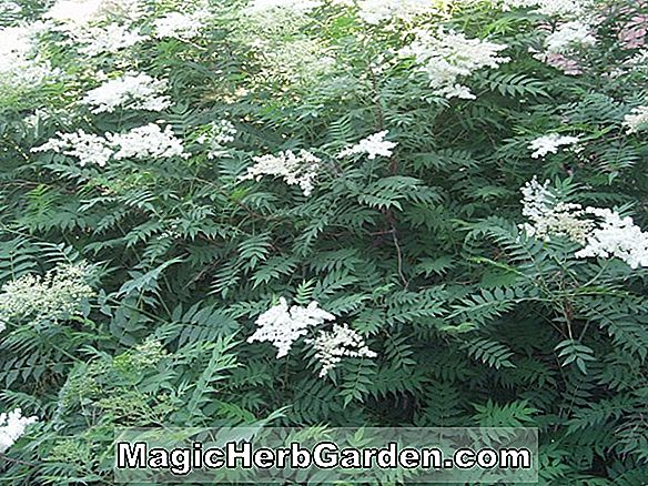 Planter: Sorbaria aitchisonii (False spirea)