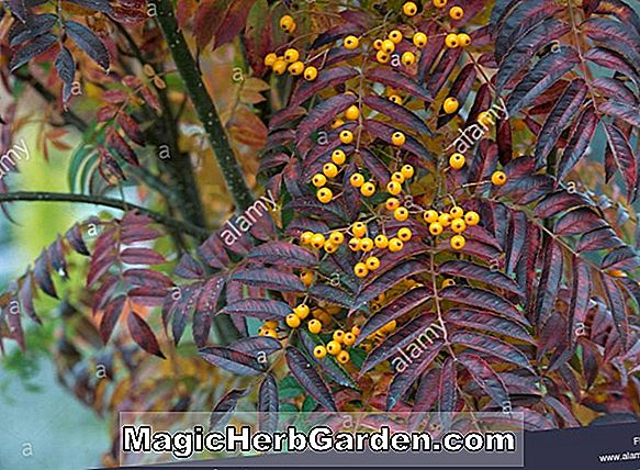 Planter: Sorbus aucuparia (Black Hawk Sorbus)