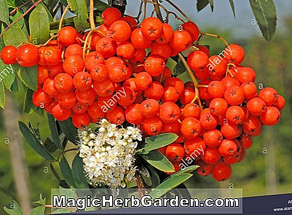 Sorbus aucuparia (Red Cascade)