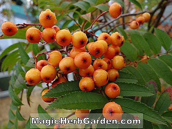 Planter: Sorbus aucuparia (Red Copper Glow Sorbus)