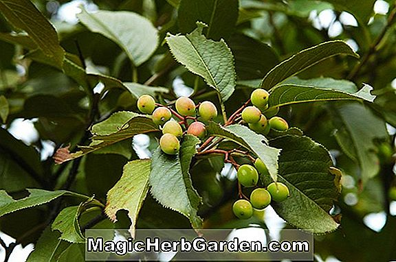 Sorbus (Wilfred Fox Sorbus)
