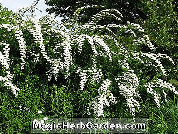 Planter: Spirea prunifolia (Bridal Wreath)