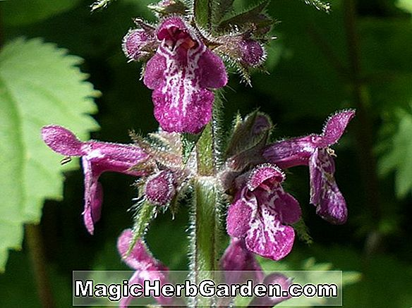 Stachys sylvatica (Hedge Woundwort)