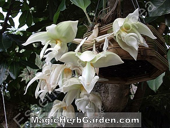 Planter: Stanhopea wardii (Stanhopea Orchid)