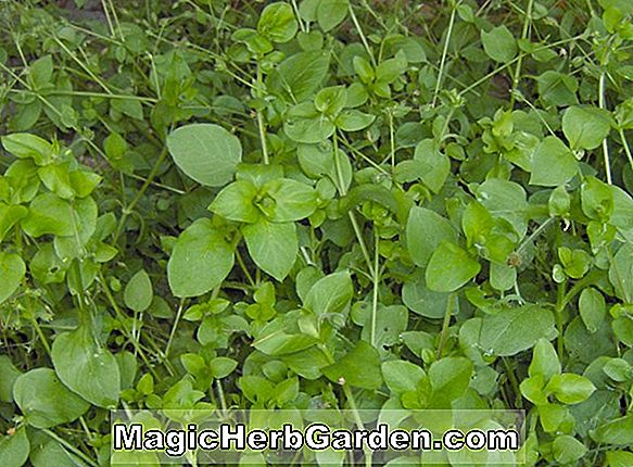 Stellaria medier (Common Chickweed)