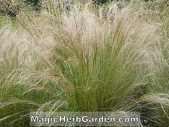 Planter: Stipa Splendens (Needle Grass)