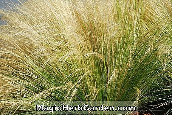 Planter: Stipa tenuissima (Needle Grass)